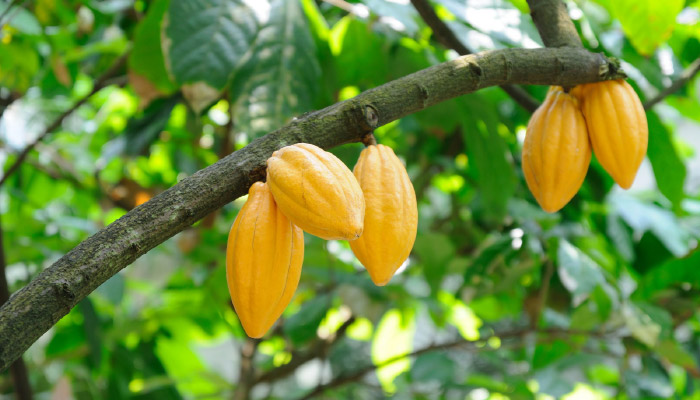 Image of fruit on the tree that produces cocoa butter