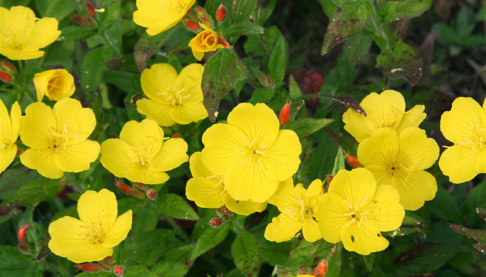 Evening Primrose flowers and leaves
