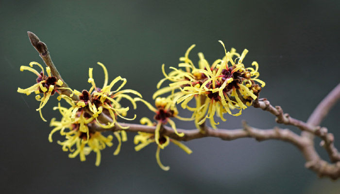 Witch Hazel flower